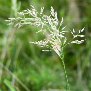 Pelyhes selyemperje (Holcus lanatus - Yorkshire Fog) Bailey virágeszencia 10ml.