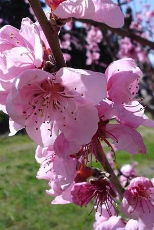 Őszibarackfa (Prunus persica)