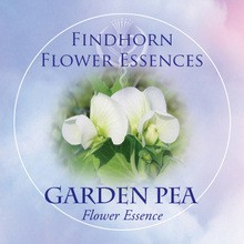 Borsó (Pisum sativum – Garden Pea) Findhorn Virágeszencia 15ml.