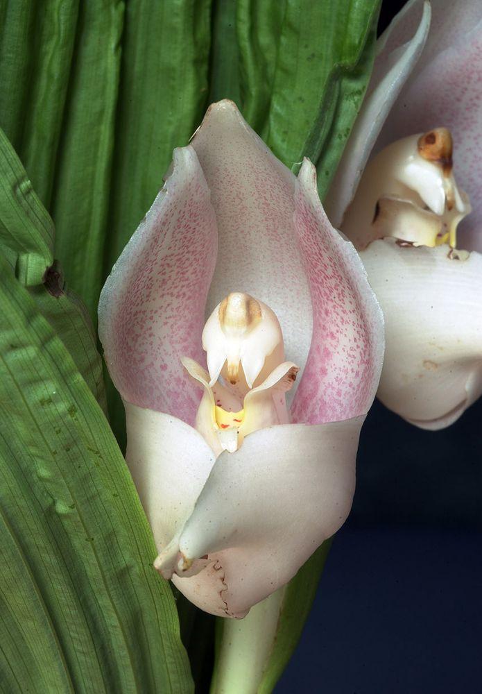 Boundless Peace orchidea eszencia