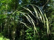 Ágas rozsnok (Wild Oat / Bromus ramosus)
