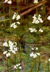 Békaliliom (Water Violet / Hottonia palustris)