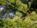 VINE - Vitis vinifera