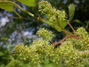 Bortermő szőlő (Vine / Vitis vinifera)