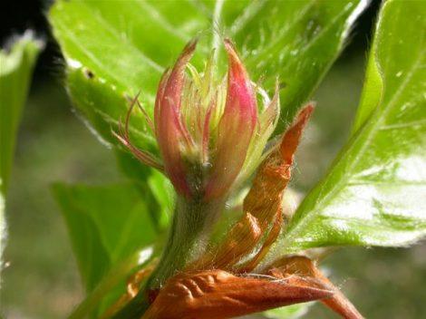Bükkfa (Beech / Fagus silvatica)