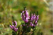 Csarab (Heather / Calluna vulgaris)