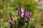 Csarab (Heather / Calluna vulgaris)