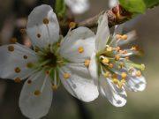 Cseresznyeszilva (Cherry Plum / Prunus cerasiferus)