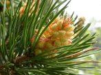 Erdei fenyő (Pine / Pinus sylvestris)