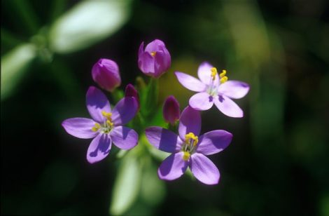 Ezerjófű (Centaury / Centaurium umbellatum)