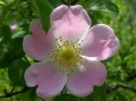 WILD ROSE - Rosa canina