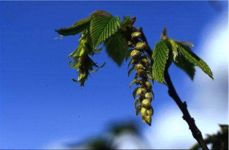HORNBEAM - Carpinus betulus
