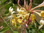 Jerikói lonc (Honeysuckle / Lonicera caprifolium)