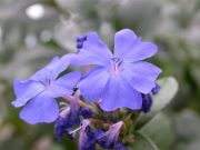 Kékgyökér (Cerato / Ceratostigma villmottiana)