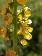 Közönséges párlófű (Agrimony / Agrimonia eupatoria)