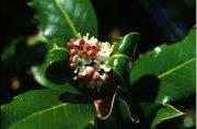 Magyal (Holly / Ilex aquifolium)