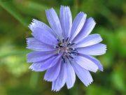 Mezei katáng (Chicory / Cichorium intybus)