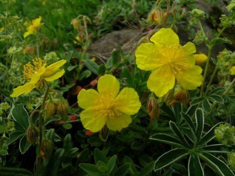 Molyhos napvirág (Rock Rose / Helianthemum nummularium)