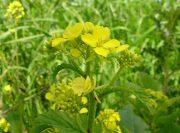 Mustár (Mustard / Sinapis arvensis)