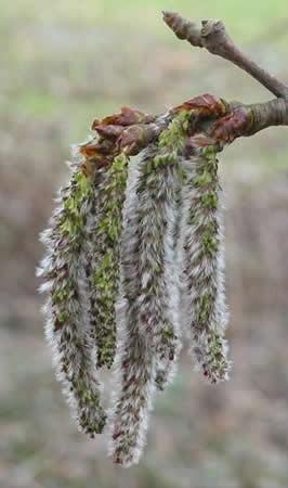Rezgő nyár (Aspen / Populus tremula)