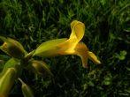 Sárga bohócvirág (Mimulus / Mimulus guttatus)