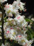 WHITE CHESTNUT - Aesculus hippocastanum