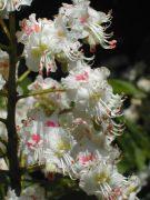 Vadgesztenye (White Chestnut / Aesculus hippocastanum)