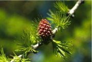 Vörösfenyő (Larch / Larix decidua)