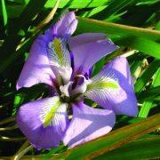 Berber nőszirom (Iris unguicularis – Algerian Iris) Bailey virágeszencia 10ml.