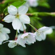 Mandula (Prunus dulcis – Almond) Bailey virágeszencia 10ml.