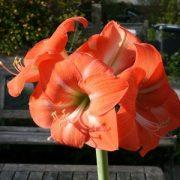 """Amarillisz (Hippeastrum """"Piquant"""" - Amaryllis) Bailey virágeszencia 10ml."""