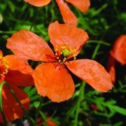 Barack pipacs (Papaver postii - Apricot Poppy) Bailey virágeszencia 10ml.