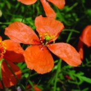 Apricot Poppy Bailey flower essence 10ml.