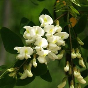 Black Locust Bailey flower essence 10ml.