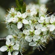 Kökény (Prunus spinosa – Blackthorn) Bailey virágeszencia 10ml.