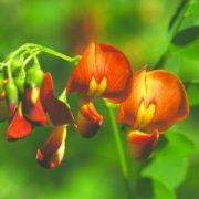 Narancsszínű dudafürt (Colutea x media – Bladder Senna) Bailey virágeszencia 10ml.