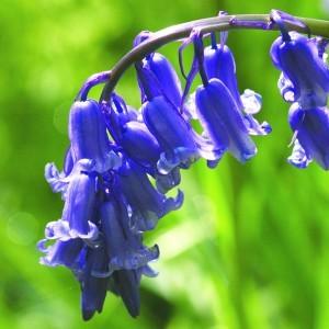 Angol kékcsengő (Hyacinthoides non-scripta – Bluebell) Bailey virágeszencia 10ml.