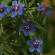 Kék tikszem (Anagallis arensis var. Caerulea - Blue Pimpernel) Bailey virágeszencia 10ml.