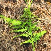 Saspáfrány Alc (Pteridium aquilinum – Bracken Alc.) Bailey virágeszencia 10ml.