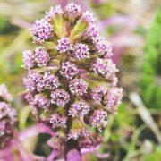 Vörös acsalapu (Petasites hybridus – Butterbur) Bailey virágeszencia 10ml.