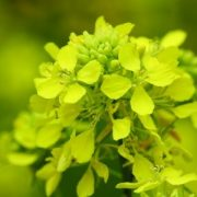 Vadrepce (Sinapis arvensis – Charlock) Bailey virágeszencia 10ml.
