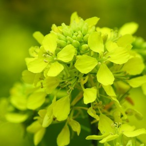 Charlock Bailey flower essence 10ml.