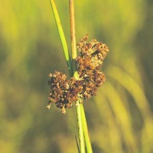 Békaszittyó (Juncus effusus - Compact Rush) Bailey virágeszencia 10ml.