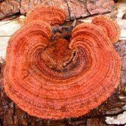 Cifra lemezestapló (Gloeophyllum sepiarium - Conifer Mazegill) Bailey virágeszencia 10ml.