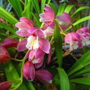 Csónakorchidea (Cymbidium hybridus – Cymbidium Orchid) Bailey virágeszencia 10ml.
