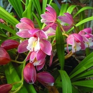 Cymbidium Orchid Bailey flower essence 10ml.