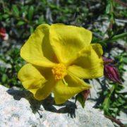 Naprózsa (Fumana arabica - Cyprus Rock Rose) Bailey virágeszencia 10ml.