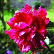 "Illatos bazsarózsa (Paeonia lactiflora ""Suminoichi"" - Deep Red Peony) Bailey virágeszencia 10ml."
