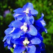 Szarkaláb (Delphinium consolida – Delphinium) Bailey virágeszencia 10ml.