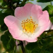 Vadrózsa (Rosa canina – Dog Rose) Bailey virágeszencia 10ml.